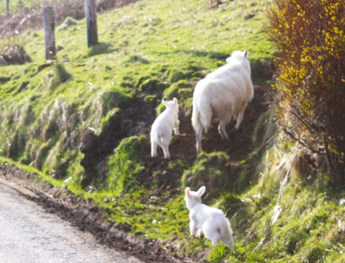 20090403_sheepontheroad