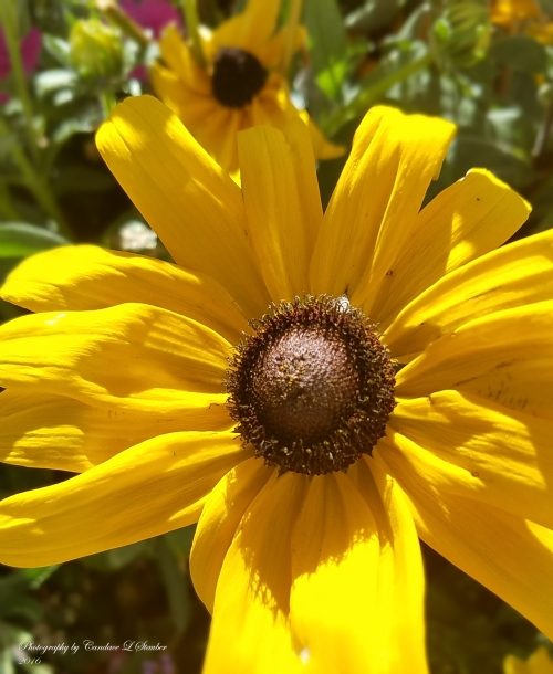 20161022_blackeyed-susan