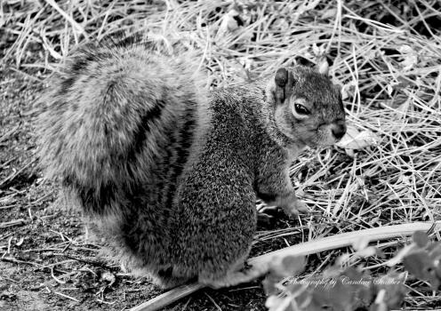 squirrel-blkwhite