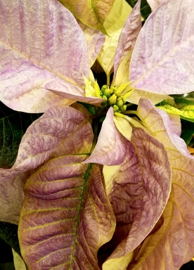 01-poinsettia-purple