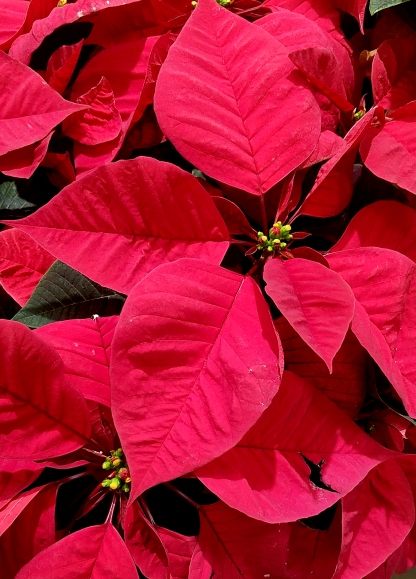 01-poinsettia-red