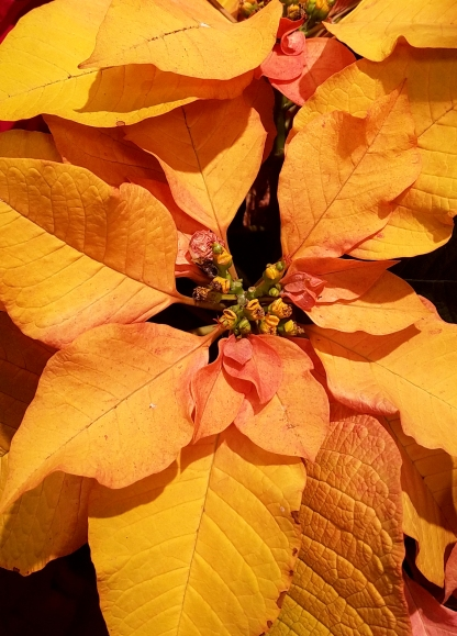 01-poinsettia-yellow