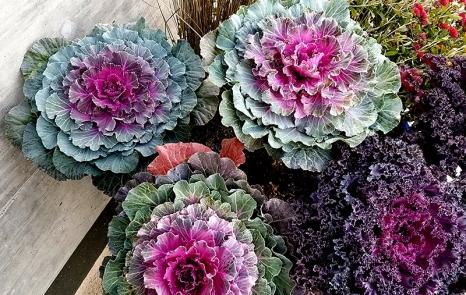 20161105_decorative-cabbage1-800