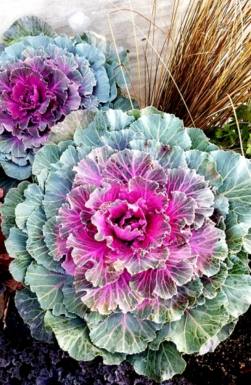 20161105_decorative-cabbage2-800