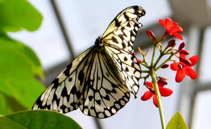21885584942_butterflyblkwhite800