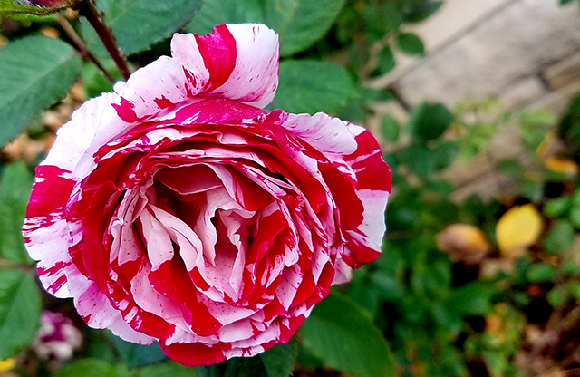 candycane-rose-20161105_091746-640