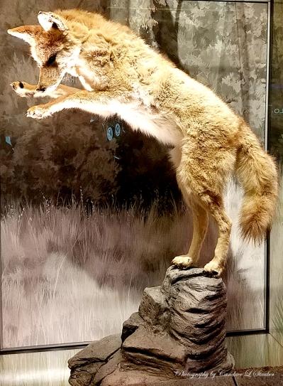 coyote-gardenofthegods