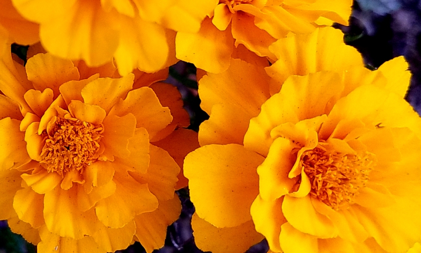 marigold20161105_084202-b
