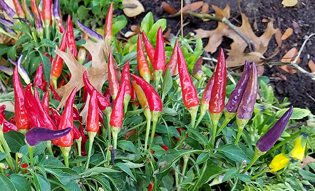 peppers20161105_092929-640