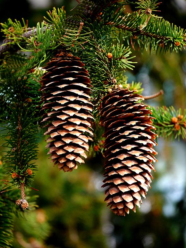pinecones-800