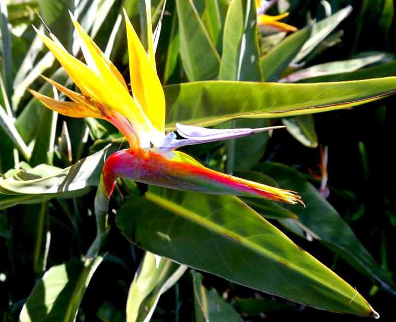 sandiego-birdofparadise