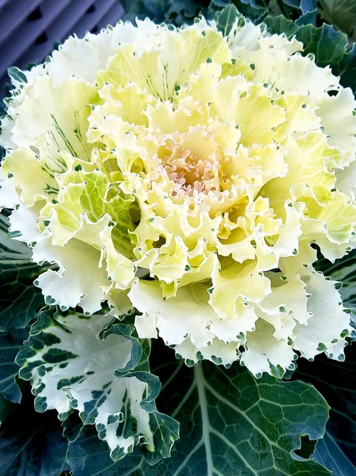whitedecorativecabbage-20161105-1000