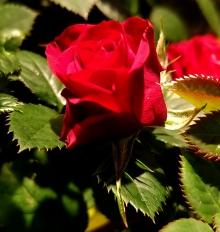 Miniature Red Rose