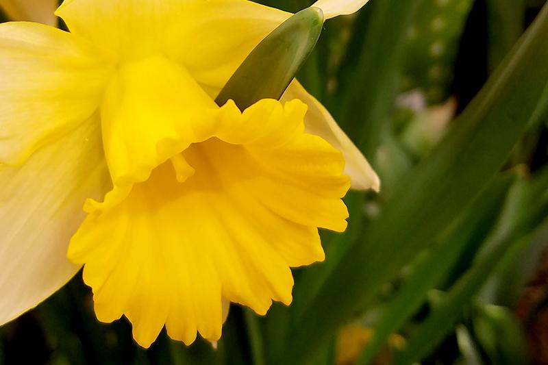 daffodil20170104_142146-800
