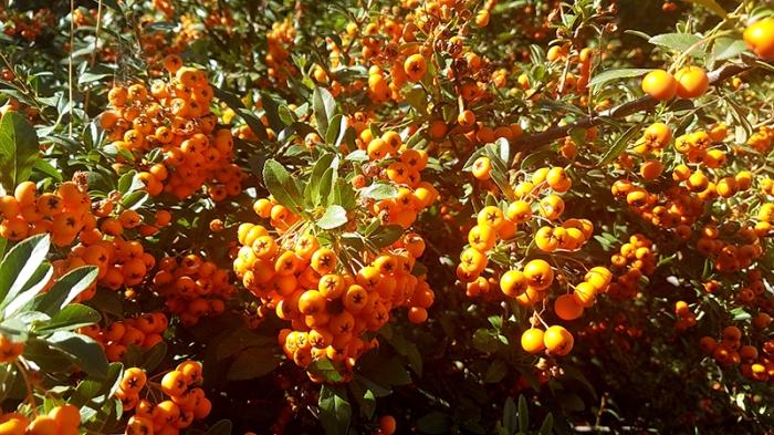 firethorn-orange-20161004_150503-800