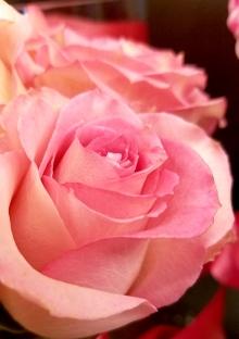 pinkrose-20170121_133626-800