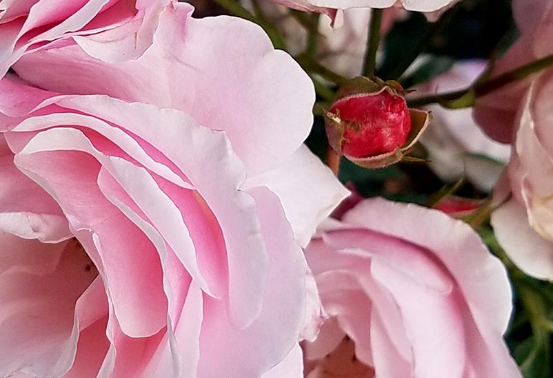 pinkrosebud20161105_092212-800