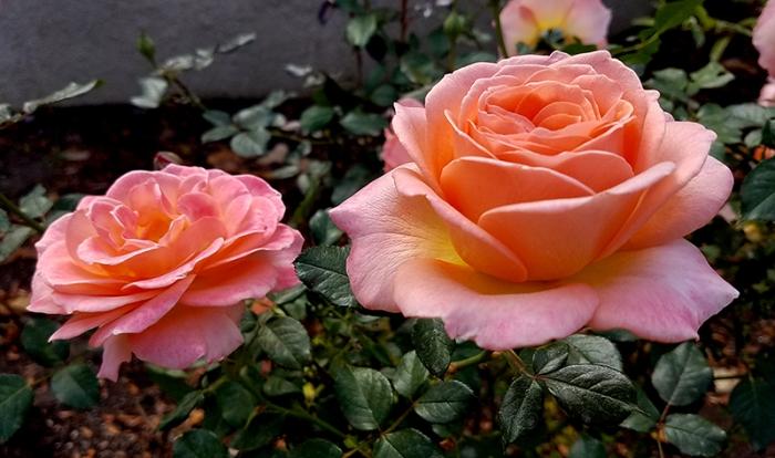 pinkroses20161105_092121-800