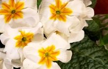 whiteprimrose-20170118_170801-800