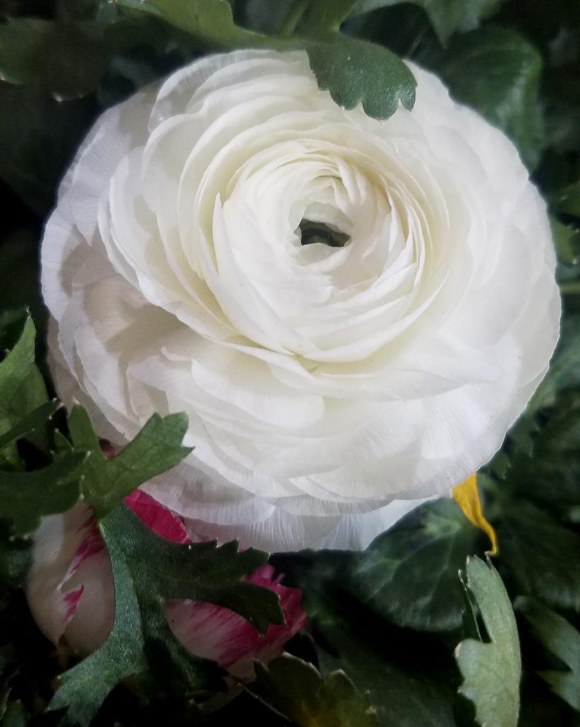 calendula-white-20170205_133232