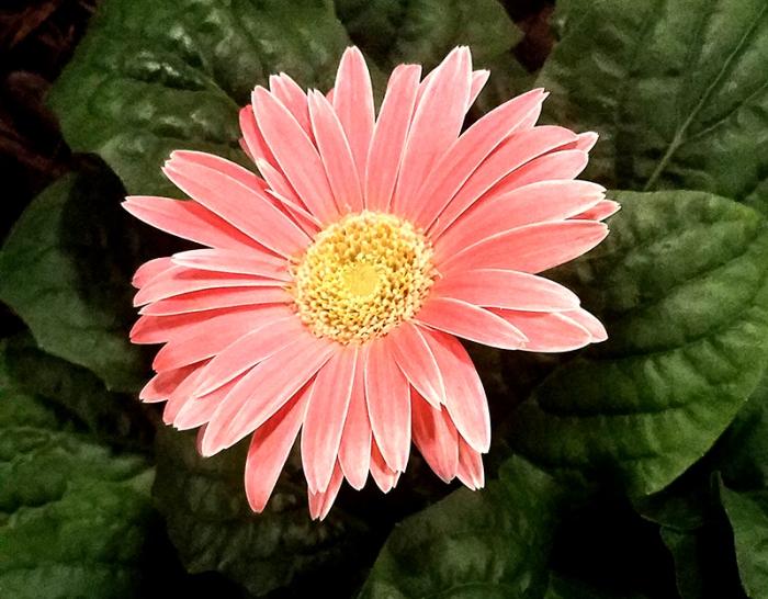 gerbera-daisy-1-20170205_143819-800