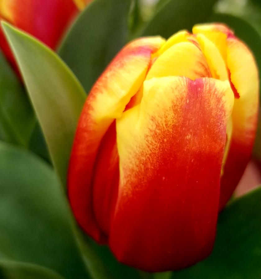 tulip-1-20170225_141813