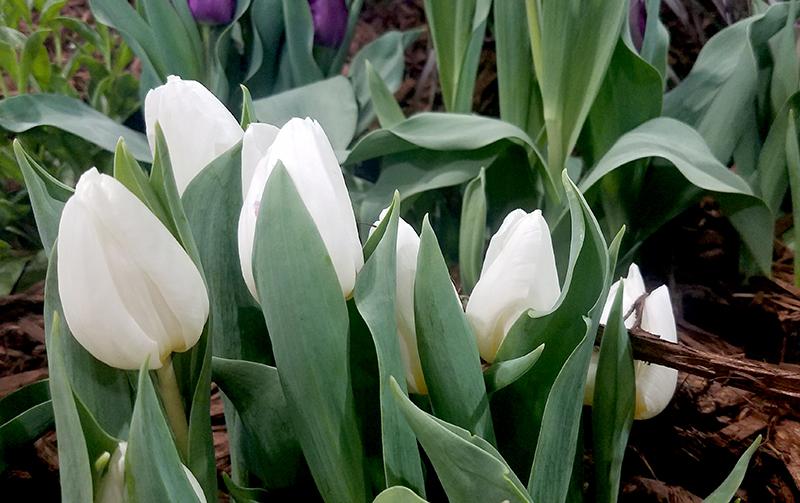 tulips-white-800-20170205_132908-1