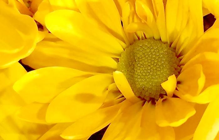 yellowmum-01