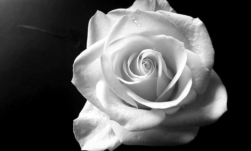 00-800-whiterose-20170304_112259-monochrome