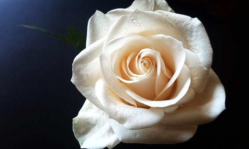 00-800-whiterose-20170304_112259