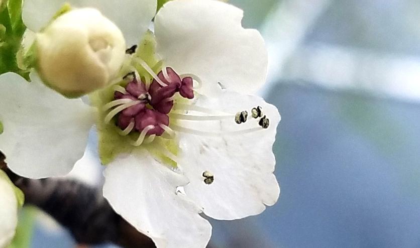 00-floweringtree-macro-20170324_161936