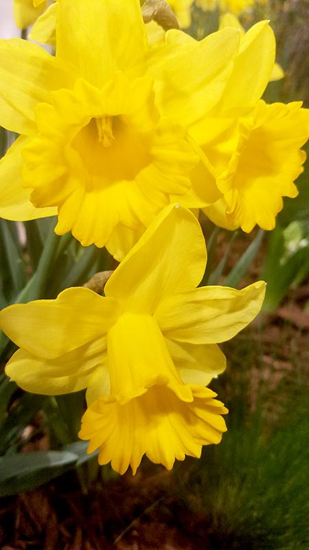 daffodil-800-20170205_133039