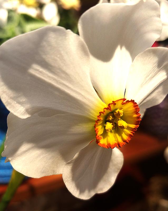 daffodil-800-20170326_134320