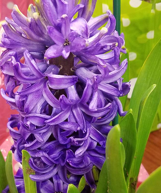 hyacinth-royalpurple-20170109_163923-800