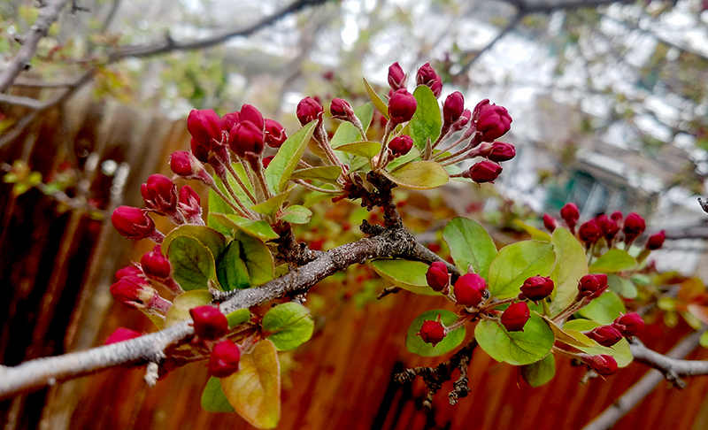 spingcrabapple20170326_122717-800