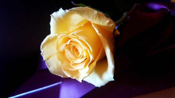 yellow rose20170304_121009_001-800