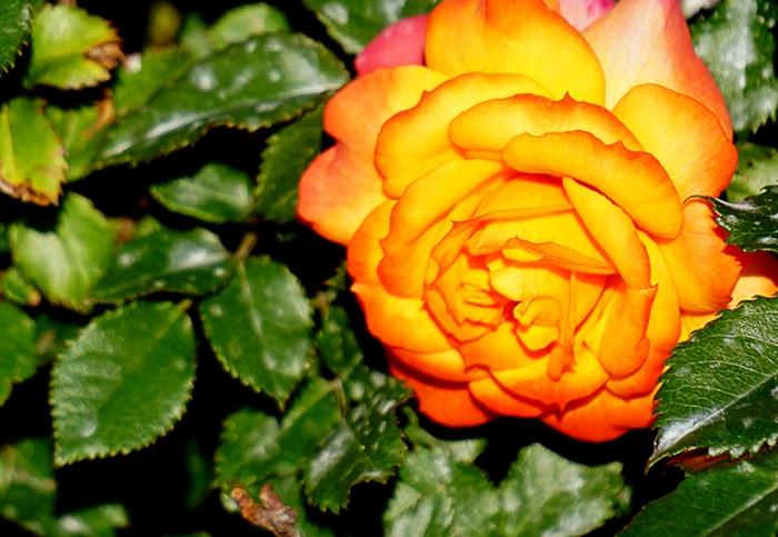 athens-rose-800-DSC00428
