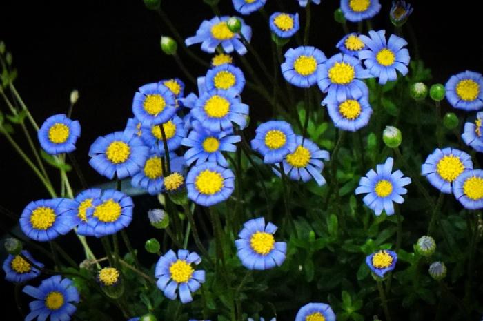 bluedaisy-DSC00038-800.jpg