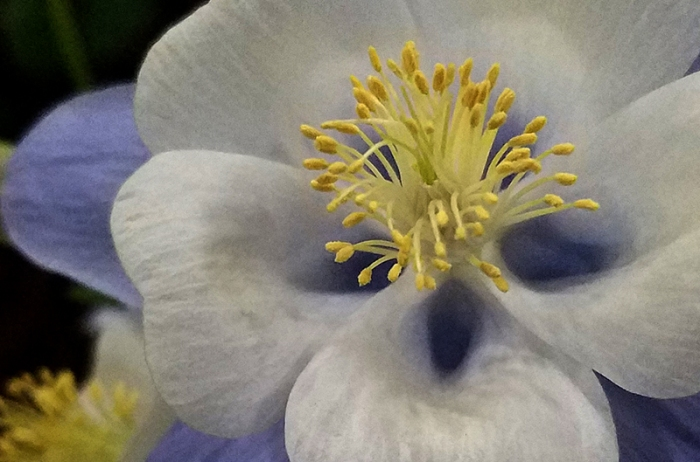 bluewhite-clematis-macro-20170205_143709-800