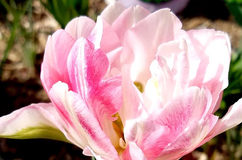 tulip-macro-20170420_092853-800