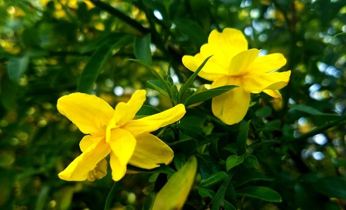 yellowflowers-athens-20170412_163005-800