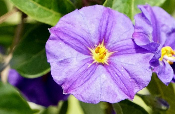 blueflower1-DSC00076-800