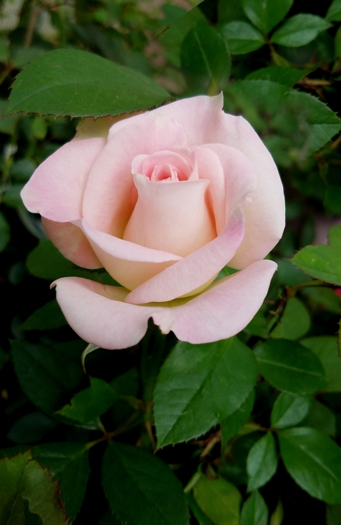 rose20170529_143328