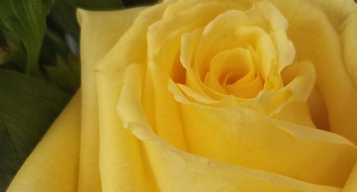 yellowrose-20170514_124610