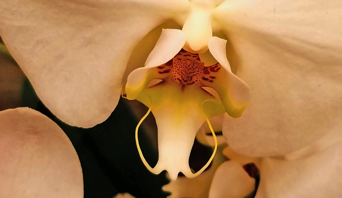35071523292_orchid