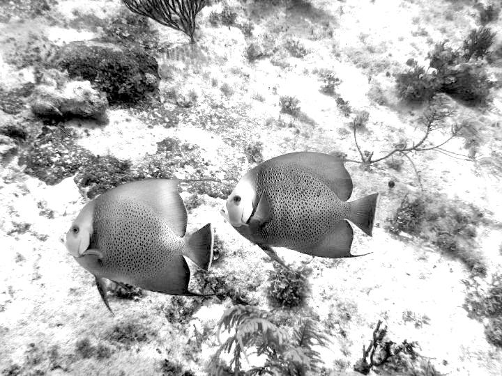 caribbeanfish-monochrome