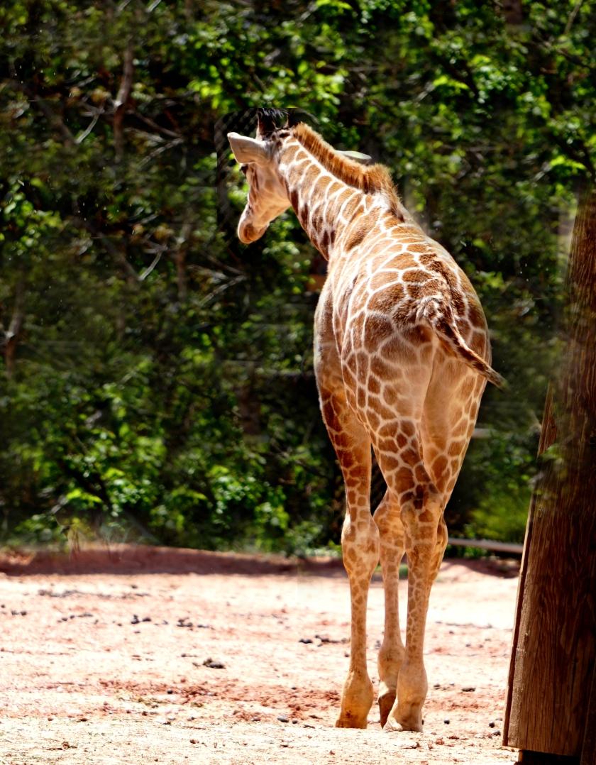 giraffe-DSC00775