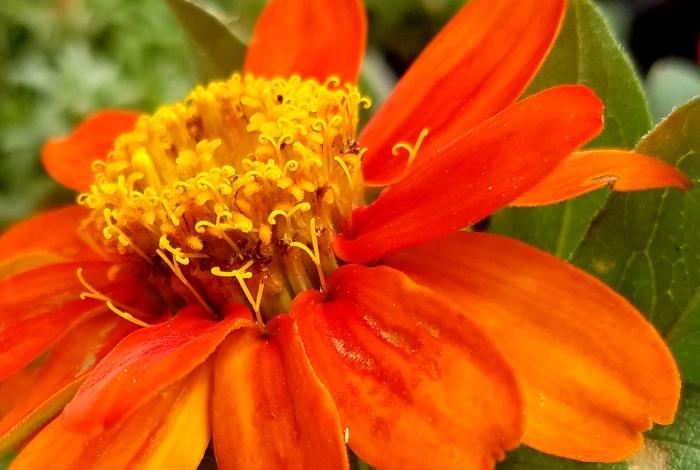 macroorange-flower