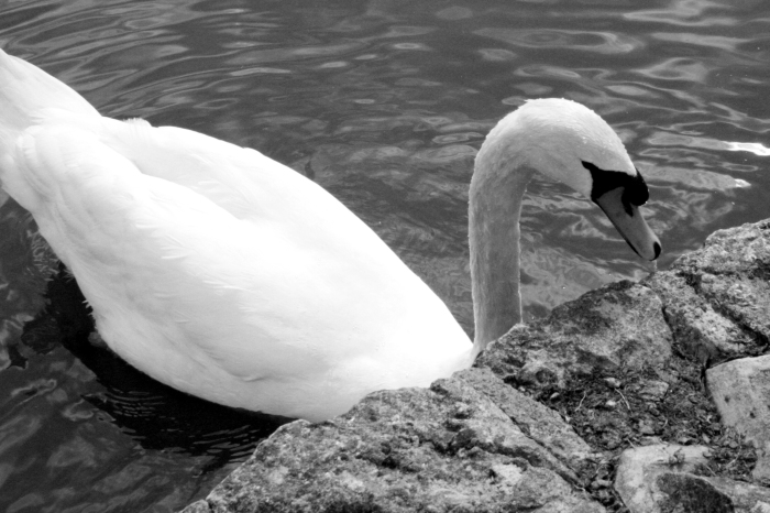 monochrome-swan-G_2933