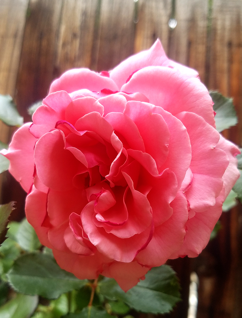 pinkrose-6102017-800